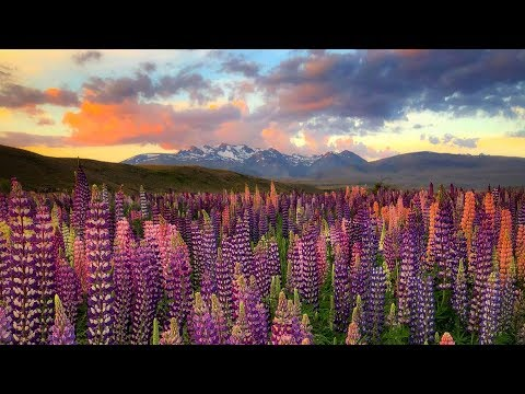 Landscape Photography New Zealand - Lupins Flowers