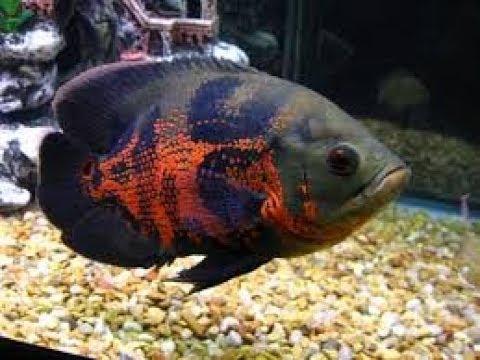 Cá Heo Lửa, Cá Tai Tượng Châu Phi dễ nuôi (VietSub)