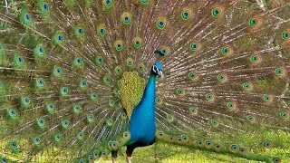 Pecock The Beauti of wild