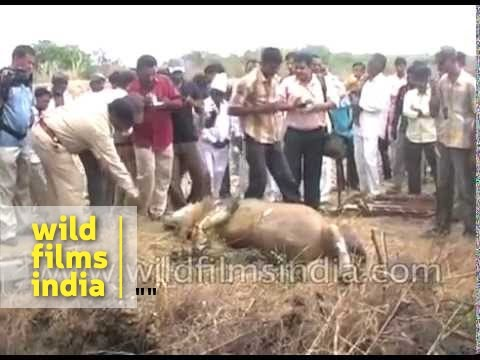 Rare Indian Lion dies after falling into well in Gujarat
