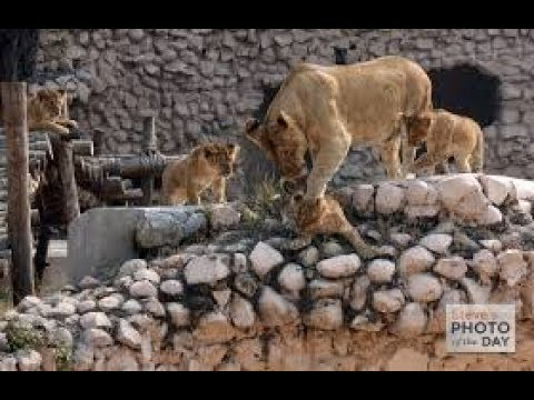 nature of india  (SEE ZOO AT HOME LUCKNOW ZOO ) LIONS REAL PICS