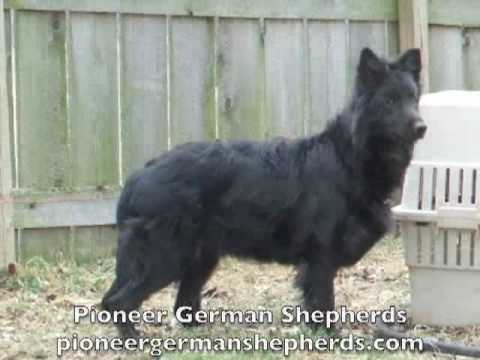 Black German Shepherd breeder – Black German Shepherds in Pennsylvania – Black German Shepards