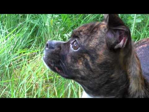 Boston Terrier/ Chihuahua puppy mix, Gidget, super cute!
