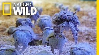 Cuttlefish Look Like Squid—and Like Crabs, and Like Algae, and Like Rocks | Nat Geo Wild by Nat Geo WILD