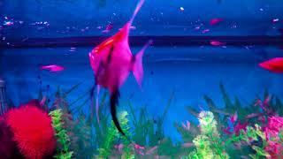 Aquarium,peixe, poisson, grupi, scarlet, aquárioterapia, peixes,
