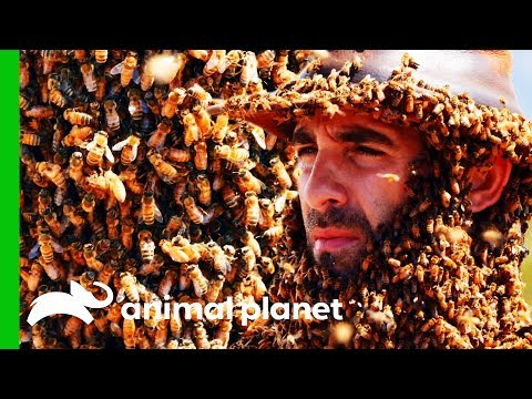Swarm Of 10,000 Bees Cover Coyote's Face And Body | Coyote Peterson: Brave The Wild