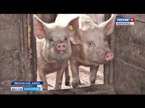 Проверка содержания свиней в лпх Волгоградской области Волгоград ТРВ