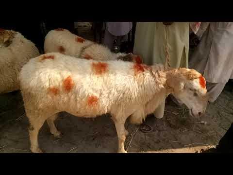 Bakra mandi pakistan qureshi morh dera ismail khan friday 17072020