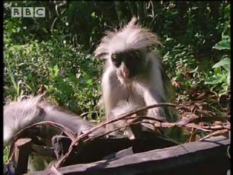 Colobus Monkeys Heal Themselves