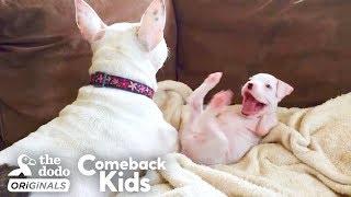Video Nubby The 2-Legged Boxer Steals His Dad's Heart | The Dodo Comeback Kids MP3, 3GP, MP4, WEBM, AVI, FLV Juni 2019