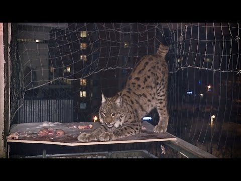 Рысь по прозвищу Рысь: московская семья завела хищного питомца (видео)