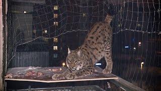 Рысь по прозвищу Рысь: Московская семья завела хищного питомца
