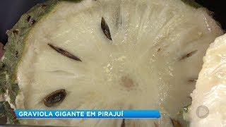 Graviola gigante é atração em sítio de Pirajuí
