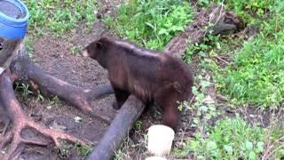 Video 2011 archery monster chocolate black bear with rage broadhead MP3, 3GP, MP4, WEBM, AVI, FLV Mei 2017