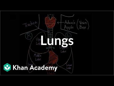 Meet the lungs (video) | Human body systems | Khan Academy
