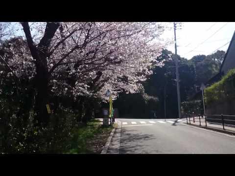鞘ヶ谷小学校 桜坂 2014