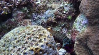 Aloha Divers Okinawa - Camarão Mantis
