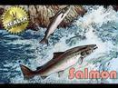 0 Salmon