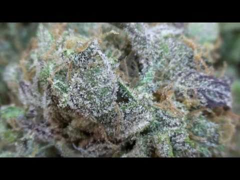 Cannabis Strain Purple Kush