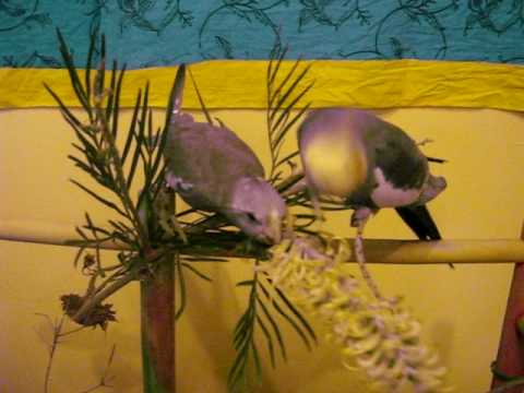 Pet Cockatiels natural wild foods
