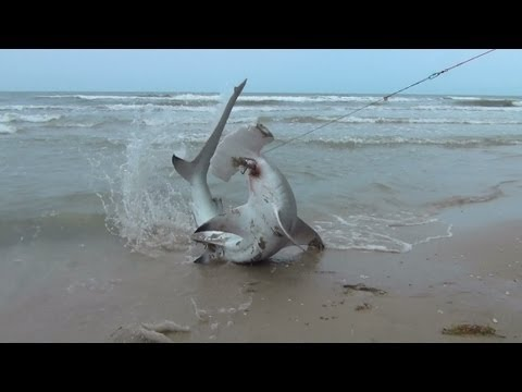 BlackTip Shark Fishing, What We Do For One Shark 4/4 Hammer Head!