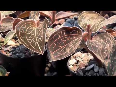 Orchideen Arten: Anoectochilus albolineatus
