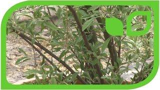 Die Namen der Pointilla: Autumn Olive, Korallenölweide, Herbstbeere, Pünktchenbeere