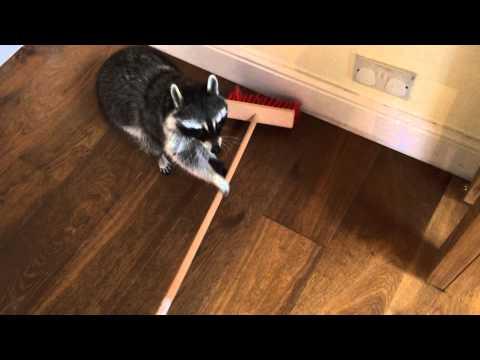 網友回家之後發現自己養的小浣熊竟然在做家務,牠丟下掃把之後做出超萌動作更是讓網友差點「中毒」!