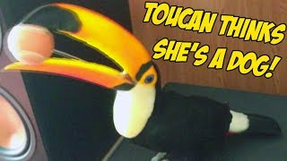 My Toucan thinks she's a puppy