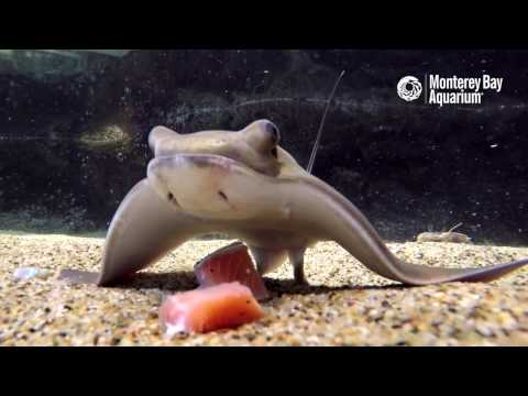 Baby Bat Rays Enjoy a Lovely Underwater Sushi