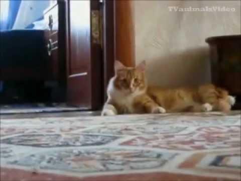 قطط مضحكة - جدا حتى البكاء -