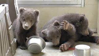 Video Three little brown bear cubs MP3, 3GP, MP4, WEBM, AVI, FLV Mei 2017