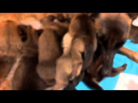 Nichée malinois, 4 semaines, dernière têtée 09.02.2014 (видео)