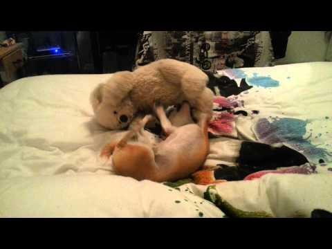 Chihuahua trop mignon
