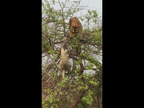 Tiger fall from tree chasing monkey  - Part 2  (India - Corbett)  虎も木から落ちる 2