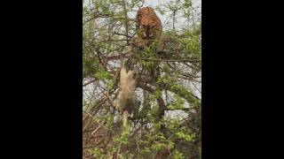 Video Tiger fall from tree chasing monkey  - Part 2  (India - Corbett)  虎も木から落ちる 2 MP3, 3GP, MP4, WEBM, AVI, FLV Agustus 2019