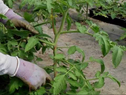 How to String & Sucker Tomato Plants