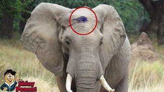Video Gajah Ini Dengan Tenang Meminta Tolong Meskipun Tengkorak Kepalanya... MP3, 3GP, MP4, WEBM, AVI, FLV Desember 2018