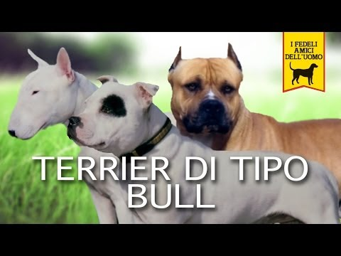 terrier type bull documentary