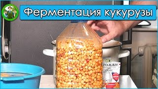 ловля карпа на ферментированную кукурузу видео