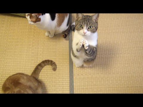 超可愛萌貓,用無辜表情乞求小魚餅乾!這行為真的好犯規啊~