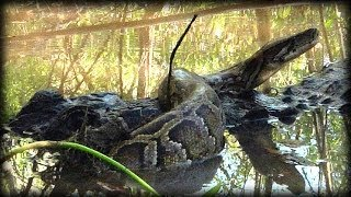 Alligator Attacks Python 08   Time Lapse