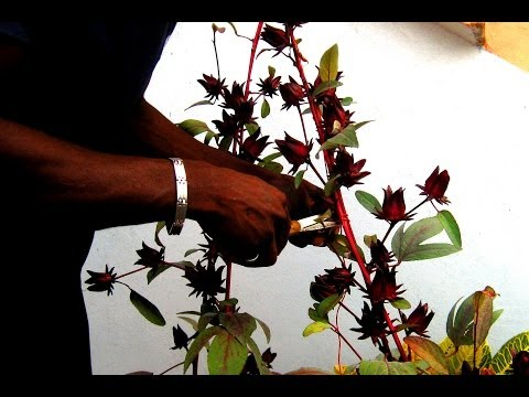 How to harvest Sorrel/Roselle: Agrosuede Backyard Gardening