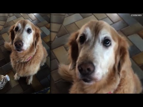 adorbs: watch this dog find out she's cancer-free!