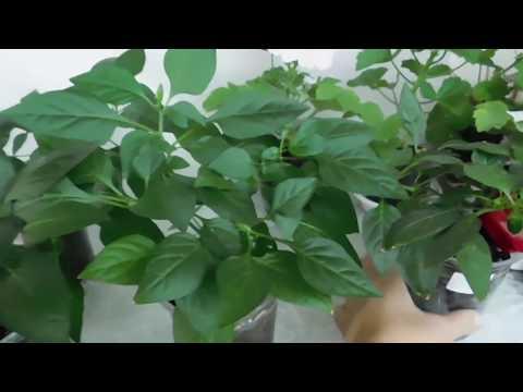 Острый перец на подоконнике выращивание и уход 15