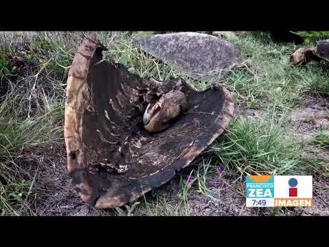 Así de horrible matan a las tortugas en Oaxaca