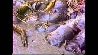 Video The Year of The Wildebeeste (Alan Root Documentary ITV Survival) MP3, 3GP, MP4, WEBM, AVI, FLV Januari 2019