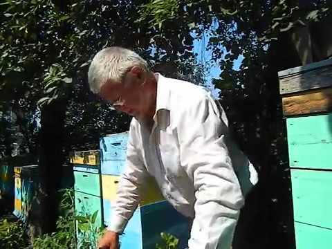 Пчеловодство. Смотреть онлайн: Пчеловодство. Бакфаст ,последний отбор мёда.