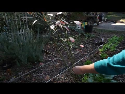 Blueberry Bush Planting Instructions : Berry Gardening, Fertilizers & Vegetables
