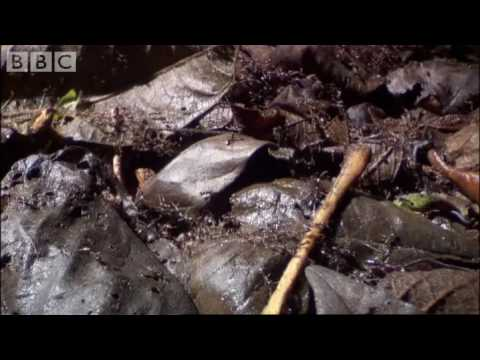 Crab - Incredible footage of ants overcoming and eating a crab - hard to believe but true! Brilliant clip from BBC show Ant Attack.